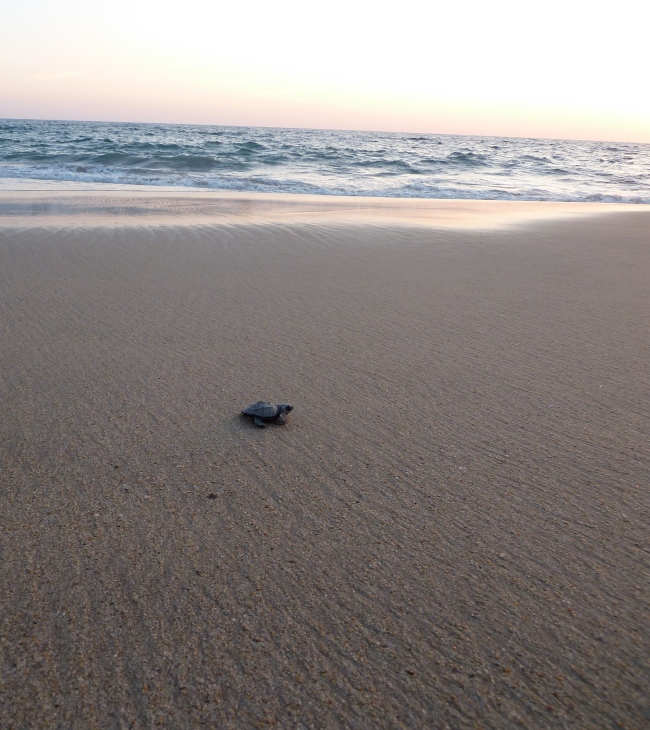 Bonus photo: baby sea turtle confronts the sea.