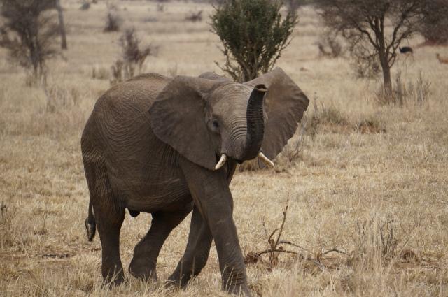 Random elephant photo. Tarangire National Park, Tanzania (2014).